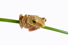 Tree frog. On papyrus tree Stock Photography