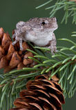Tree frog on pine cone. A gray tree frog is sitting on a pine cone Royalty Free Stock Photo