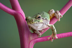 Tree frog on pokeweed stems Royalty Free Stock Images