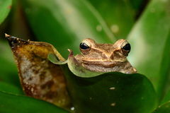 Tree frog portrait Stock Photos