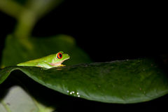 Tree Frog Profile Royalty Free Stock Photo
