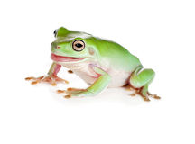 Tree frog pulling faces Royalty Free Stock Image