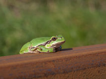 Tree frog on a railway Stock Photos