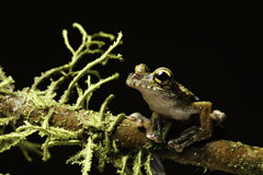 Tree frog rain forest animal big eyes exotic Royalty Free Stock Images
