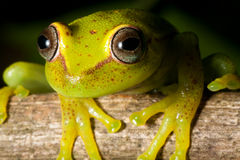 Tree frog rain forest yellow amphibian red eye. Tree frog Hypsiboas cinerascens in the Bolivian rain forest yellow amphibian with red eye vivid and bright color Stock Photography