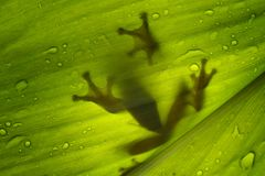 Tree frog, after rain, on leaves. Tree frog on green leaves after rain Royalty Free Stock Photography