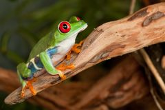 Tree frog in the rainforest. Red eyed tree frog crouching on a branch Royalty Free Stock Photography
