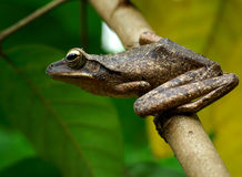Tree Frog: Ready to Jump. A frog ready to jump to another tree Royalty Free Stock Photo