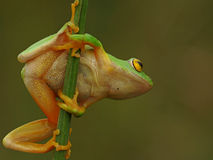 Tree frog ready to jump. Rare green tree frog spotted hanging onto a reed at the edge of a dam Stock Photo