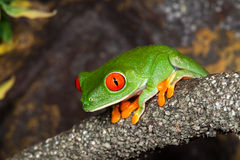 Tree frog. Red Eyed Tree Frog in a rainforest royalty free stock images