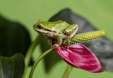 Tree Frog and Red Flower Royalty Free Stock Images