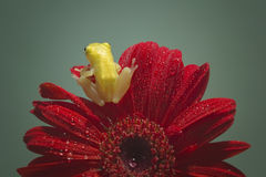 Tree frog on red flower Royalty Free Stock Photos