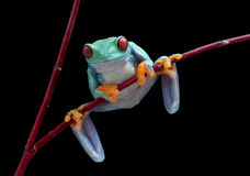 Tree frog on red vine Royalty Free Stock Photos