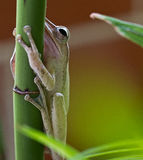 Tree Frog. Resting on a tree plant royalty free stock image