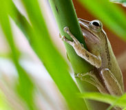 Tree Frog. Resting on a tree plant royalty free stock photos