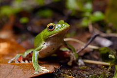 Tree frog Royalty Free Stock Photos
