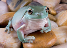 Tree Frog on river rock. A whites tree frog is sitting on river rock Stock Image