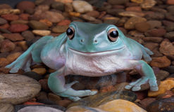 Tree frog in rocky pond. stock image