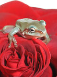 Tree frog on rose Stock Photography