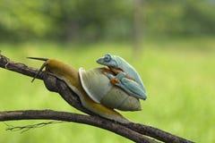 Snail on body tree frog, bestfrien animal, tree frog. Tree frog and sanil best friend, amphibian stock photos