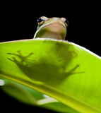 Tree frog shadow Stock Photography