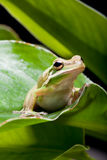 Tree frog shadow Royalty Free Stock Photos