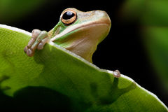 Tree frog shadow Royalty Free Stock Images
