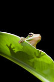 Tree frog shadow Royalty Free Stock Photo