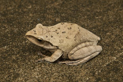 Tree frog in side view Royalty Free Stock Photos