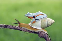 Tree frog sitting on body snail Royalty Free Stock Images