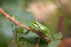 Tree frog is sitting in a bramble Stock Photography