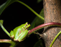 Tree frog sitting on branch Royalty Free Stock Images