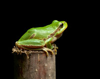 Tree frog sitting on branch top Stock Image