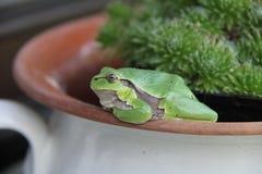 Tree frog on flowerpot. Tree frog sitting on the flowerpot. Summer day in garden royalty free stock photos