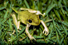 Tree Frog. Sitting in grass Stock Photos