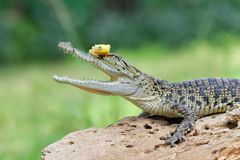 Little tree frog on head crocodile. Tree frog sitting on head crocodile stock photography
