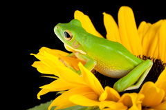 Tree frog sitting on a sunflower. White-lipped tree frog or Litoria Infrafrenata sitting on a sunflower Royalty Free Stock Image