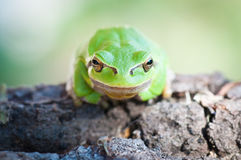Tree frog sitting on a trunk Stock Photo