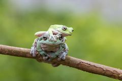 Frog, animals, tree frog, dumpy frog, Stock Images