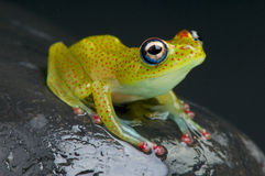 Red toed tree frog / Boophis erythrodactylus Royalty Free Stock Photos