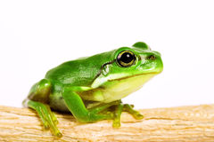 Tree frog on stem of plant Stock Photography