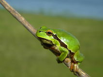 Tree frog on a stick. A tree frog on a stick waiting for a photo Stock Images