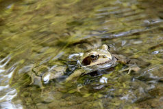 Tree frog in a stream. Royalty Free Stock Photo