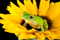 Tree frog on a sunflower. White-lipped tree frog or Litoria Infrafrenata sitting on a sunflower Stock Photo
