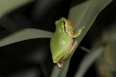 Tree frog in a swamp Stock Photography