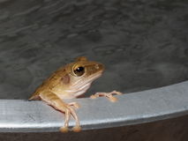 Tree frog. The tree frog is taking a bath in cool water.It is hot now Stock Photography