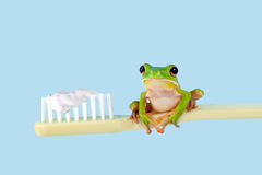 Tree frog on toothbrush Stock Images