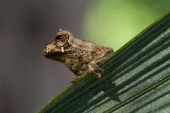 tree frog tropical stock photography