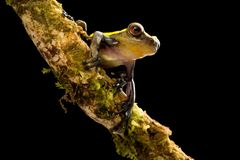 Tree frog in tropical Amazon rain forest of Colombia. Dendrosophus mano negra royalty free stock photos