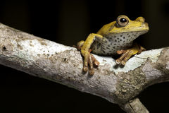 Tree frog in tropical amazon rainforest. Tree frog amphibian treefrog in tropical amazon rainforest rainforest branch tropical hypsiboas geograficus Royalty Free Stock Images
